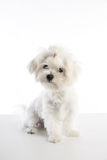 Maltichon puppy Bichon Maltese on white. Maltichon puppy also Bichon Maltese doggy on white background Stock Images