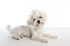 Maltichon puppy Bichon Maltese on white. Maltichon puppy also Bichon Maltese doggy on white background Royalty Free Stock Image