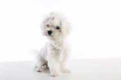 Maltichon puppy Bichon Maltese on white. Maltichon puppy also Bichon Maltese doggy on white background Royalty Free Stock Photo