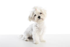 Maltichon puppy Bichon Maltese on white. Maltichon puppy also Bichon Maltese doggy on white background Stock Image
