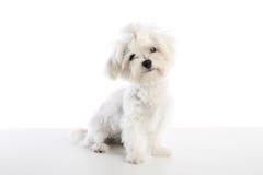 Maltichon szczeniaka Bichon maltańczyk na bielu Obraz Stock