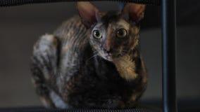 Malticolored猫康沃尔雷克斯松劲并且转动他的面孔 股票视频