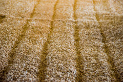 Malting barley Royalty Free Stock Photos