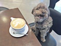 Maltipoo appréciant son café de matin images stock