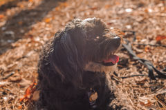 Maltipoo dog and autumn. Maltipoo dog with autumn leaves stock image