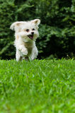 Maltipoo dog running and jumping in field. With copyspace Stock Photos
