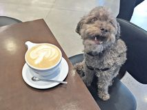 Maltipoo enjoying his morning coffee. Maltese and Poodle mix enjoying his morning coffee. Coffee break. Pets sitting in chairs. coffee shops stock images