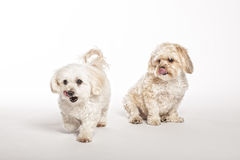 Maltipoo and Morkie Puppies. On White Background royalty free stock photography