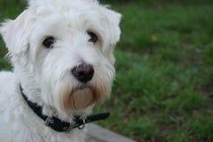 Maltipoo. Nice Maltipoo dog Close Up Head Stock Photography