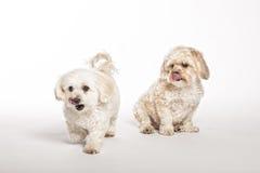 Maltipoo och Morkie valpar Royaltyfri Fotografi