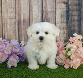 Maltipoo Puppy. Cute little Maltipoo puppy sitting in the grass with flowers around her stock image