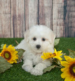 Maltipoo Puppy. Cute Maltipoo poppy laying in the grass outdoors with sunflowers around her, with copy space royalty free stock image