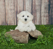 Maltipoo Puppy. Sweet little Maltipoo puppy laying outdoors on rocks with ivy around them, with copy space Royalty Free Stock Photography
