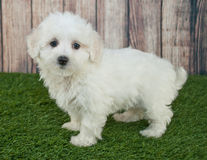 Maltipoo Puppy. Sweet little Maltipoo puppy standing in the grass outdoors with a wooden fence behind her Stock Images