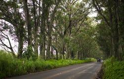 Maluhia Road. The scenic tree tunnel on Maluhia Road, Kauai Stock Image