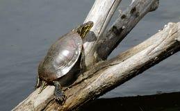 Malujący żółw sunning na gałąź Obrazy Royalty Free