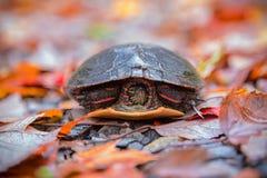 Malujący żółw w spadku Colour zdjęcia royalty free