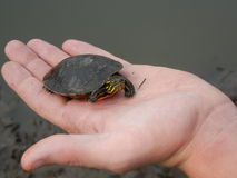 Malujący żółwia dziecko Fotografia Royalty Free