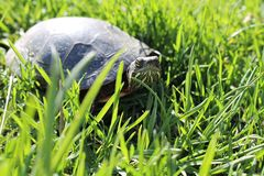 Malujący żółwia odprowadzenie Przez trawy Zdjęcie Stock