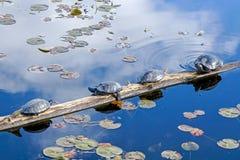 malujący żółwie obraz royalty free