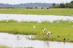 Malujący bocianów ptaki stoi jeziorem podczas lankijczyka safa fotografia stock
