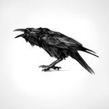 Malujący czarny kruka obsiadanie odizolowywający ilustracji