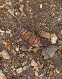 Malujący dama motyl na żwirowatej ziemi fotografia stock
