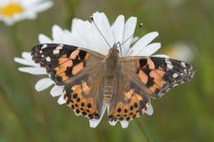 Malujący dama motyl na wielkiej stokrotce zdjęcia stock