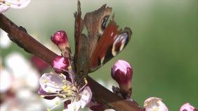 Malujący dama motyl wykarmia nektar od morelowego okwitnięcia zdjęcie wideo