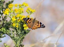 Malujący damy Vanessa motyli cardui przy żyta schronienia rezerwatem przyrody obraz royalty free