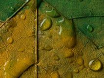 Malujący liść z wodnymi kroplami Zdjęcia Royalty Free