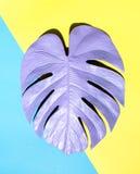 Malujący monstera liść z ciężkim cieniem Fotografia Stock