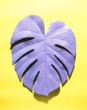 Malujący monstera liść z ciężkim cieniem Fotografia Royalty Free