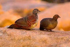 Malujący Spurfowl, Galloperdix lunulata, samiec i kobieta, Hampi, Karnataka zdjęcia stock