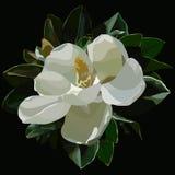 Malujący wielki kwitnący biały magnoliowy kwiat na czarnym tle ilustracji