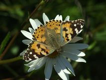 Maluję damy motyli odpoczywać na Wołowej oko stokrotce Obraz Stock