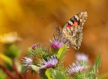 malująca motylia dama Obraz Royalty Free