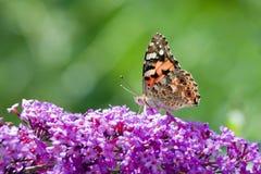 malująca motylia dama Fotografia Royalty Free