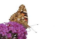 malująca motylia dama Zdjęcia Stock