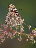 malująca motylia dama Zdjęcie Stock