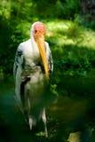 Malujący bocian (Mycteria-leucocephala) Zdjęcia Royalty Free