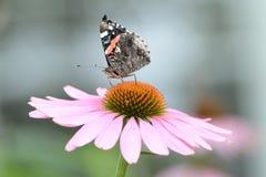 Malujący dama motyl siedzi na górze kwiatu obrazy royalty free