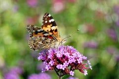 Malujący damy Vanessa cardui motyl Fotografia Royalty Free