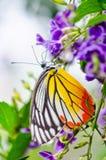 Malujący Jezebel kolorowy motyl Fotografia Stock