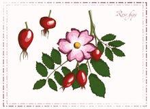 Malujący rosehips Fotografia Royalty Free