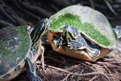 Malujący żółw w przyrodzie Fotografia Royalty Free
