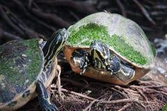 Malujący żółw w przyrodzie Fotografia Stock