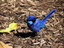 精采神仙的鹪鹩, Malurus splendens,西澳州 库存图片