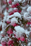 Malus × purpurea. Snowfall in Moldova. Flowering plants under the snow Royalty Free Stock Photos