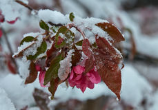 Malus × purpurea. Snowfall in Moldova. Flowering plants under the snow Stock Photo